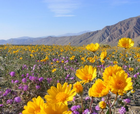 desert-flowers-in-anza-borrego